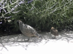 Daddy Quail and Son