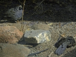 Male Watches Female Quail Digging In