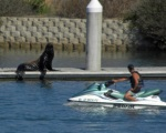 Sea Lion with Jetskier