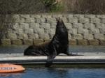 Sea Lion Sits Up