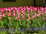 Red Tulip Bed